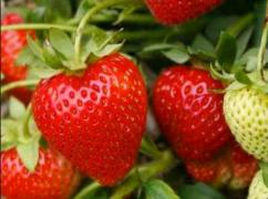 Sell strawberry WHOLESALE