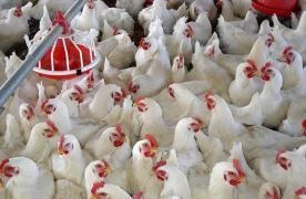 Work at the poultry farm. Work in Poland